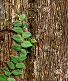 The Green creeper plant. On tree Royalty Free Stock Image