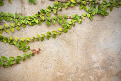 The Green Creeper Plant  vintage wall Stock Photos
