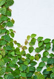 The Green Creeper Plant on the wall stock photography