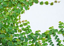 The Green Creeper Plant on the wall Royalty Free Stock Image