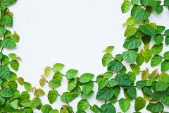 The Green Creeper Plant on the wall Royalty Free Stock Photo