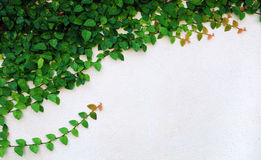 The Green Creeper Plant on wall. Creates a Beautiful Background Stock Photos