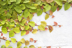 Green creeper Royalty Free Stock Images