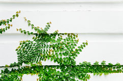 The Green Creeper Plant. Stock Images