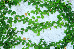 Green creeper plant Stock Photography