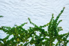 The Green Creeper Plant Royalty Free Stock Image