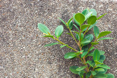 The Green Creeper Plant on wall Royalty Free Stock Images