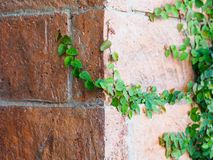 Green Creeper Plant Royalty Free Stock Images