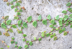 The Green Creeper Plant on the Wall. Background Royalty Free Stock Photography