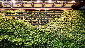 The Green Creeper Plant on the Wall. Beijing. China. Royalty Free Stock Photo