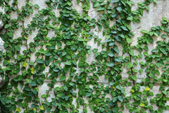 Green creeper plant on wall. Detail of green creeper plant on wall Royalty Free Stock Photos