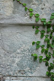 Green creeper plant on wall. Detail of green creeper plant on wall Royalty Free Stock Image