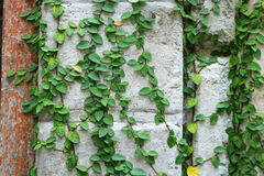 Green creeper plant on wall. Detail of green creeper plant on wall Stock Photo