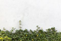 The Green Creeper Plant on wall royalty free stock image