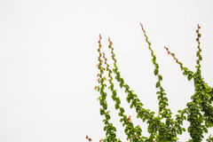Creeper plant on wall Stock Photos