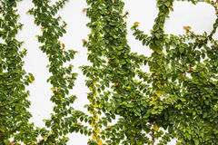 Creeper plant on wall Royalty Free Stock Image