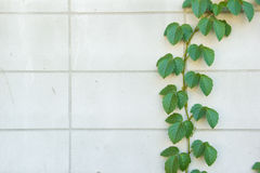 Green Creeper Plant on white wall Royalty Free Stock Images