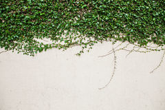 Green creeper plant on white wall Stock Images