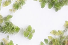 The Green Creeper Plant on a White Wall. Creates a Beautiful Royalty Free Stock Photo
