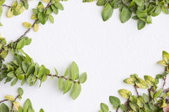 The Green Creeper Plant on a White Wall. Creates a Beautiful Royalty Free Stock Photos