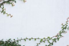 Green Creeper Plant on white wall. stock photos