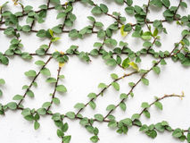 The Green Creeper Plant on a White Wall. Many Green Creeper Plant on a White Wall stock photo