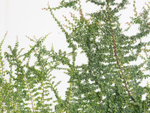 Green Creeper Plant on a White Wall. Many Green Creeper Plant on a White Wall stock photos