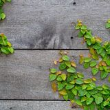 The Green Creeper Plant on wood Stock Photo