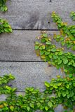 The Green Creeper Plant on wood Royalty Free Stock Image