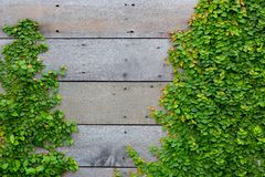 The Green Creeper Plant on wood Stock Photos