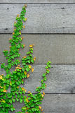 The Green Creeper Plant on the wooden wall for background. Royalty Free Stock Photography