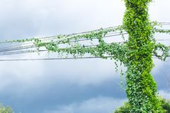 Green creeper plants messy communication cable and electric power line pole with creeper plants problem of not maintained. A weeds covered cabling manage in stock photo