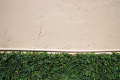 Green Creeper on Rough Painted Wall with Water Pipe Royalty Free Stock Photography