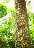 Green creeper on tree Royalty Free Stock Photos