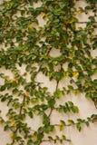 Green creeper tree on wall. Stock Image