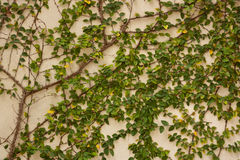 Green creeper tree on wall. Royalty Free Stock Photos