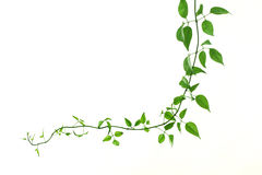 Green creeper on a white Royalty Free Stock Images
