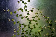 Green creeper on window grass. Green creeper ivy leaf plant on transparent window grass Royalty Free Stock Images
