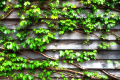 Green creeper on wooden wall. For background soft focus filter royalty free stock photo