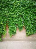 Green creepers  wall Royalty Free Stock Images