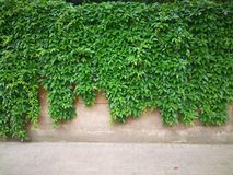 Green creepers  wall Royalty Free Stock Photography