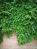 Green creepers  wall Stock Photos