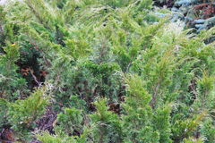 Green creeping juniper plant in park Stock Photography