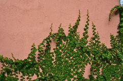 Green creeping plant cling on concrete wall Stock Photos
