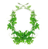 Green creeping plant leaf arrangement as frame border on white b. The green creeping plant leaf arrangement as frame border on white background Royalty Free Stock Image