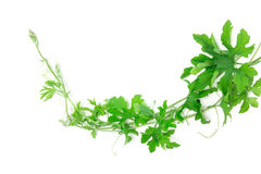 Green creeping plant on white background Royalty Free Stock Images