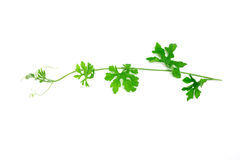 Green creeping plant on white background Stock Photo