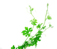 Green creeping plant on white background Stock Photography