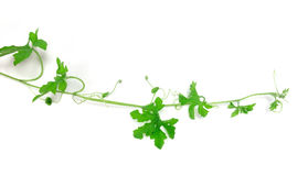 Green creeping plant on white background Royalty Free Stock Photo