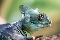 Green Crested Basilisk (Basiliscus plumifrons). Close up of the Green Crested Basilisk (Basiliscus plumifrons). Also known as the jesus christ lizard as it can royalty free stock photography
